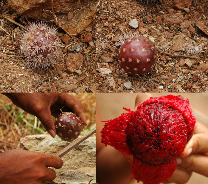 El higo que nace sombre los gigantes cactuces llamados Yotojoro o Cardon. Deliciosos y excelente diuretico.