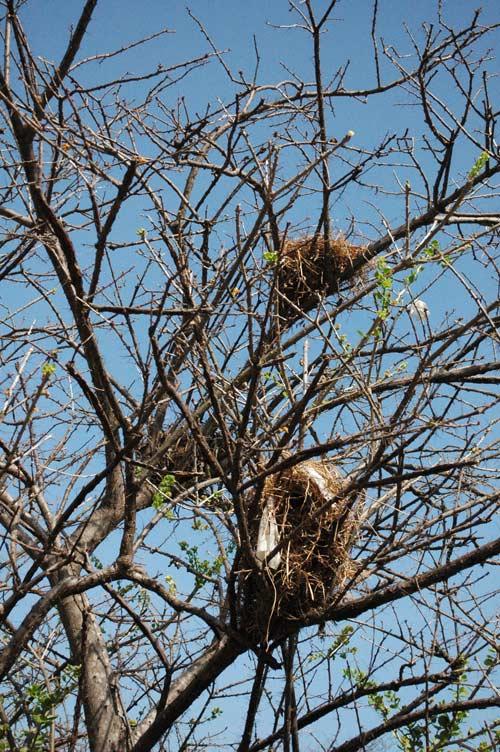 """Nidos del pajaro conocido como """"chupa huevo"""" , estos estan justo arriba de la entrada a nuestra casa!"""